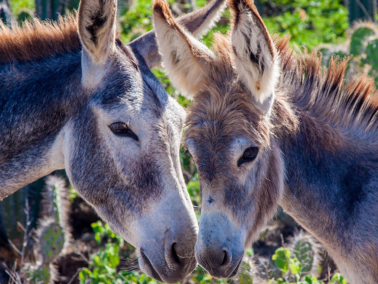 close up of two donkeys nuzzling noses